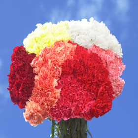 100 Stems of carnations Assorted Colors