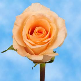 1 Dozen of Peach Roses